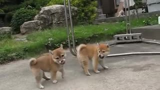 two cute puppies fighting or playing  - Video