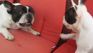 French Bulldog puppy argues with dad - Video