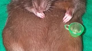 Chilling Out Rat - Video