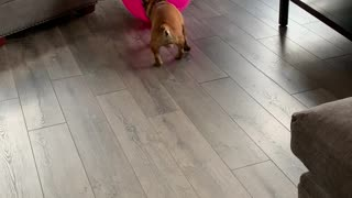 Fitness frenchie