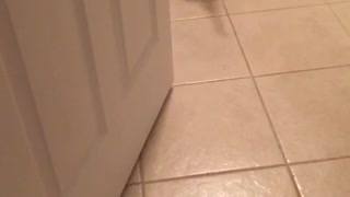 Brown pitbull walks backward in kitchen
