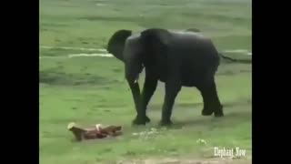 Birth process for a small elephant - Video