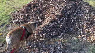 Bulldog Discovers Missing Teenager  - Video