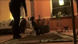 Training with 5 months old Border Collie - Video