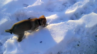 Puppy Plays In Snow  - Video