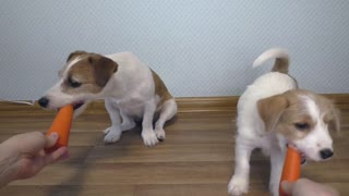 ASMR Dog eating. The PUPPY takes the CARROT from MOM. Puppy Dog Food testing. Funny dog Jack Russell