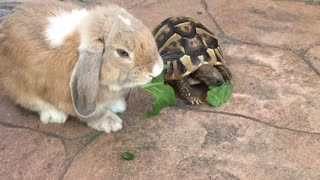 Rabbit and turtle eating lettuce together