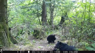 Mother and Baby Bears Playing and Eating - Video