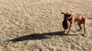 Athletic dog literally catches football with her paws