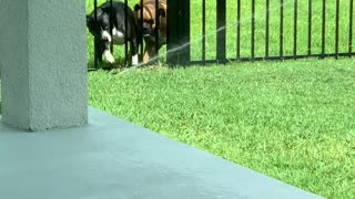 Fence Can't Stop Sprinkler Fun