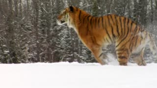tigers are very powerful and hiters Trimiteți