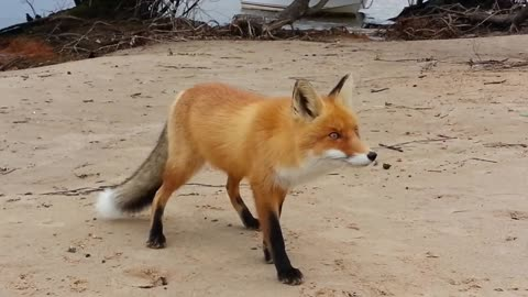 Wild fox casually approaches humans for food