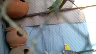 Pretty Parrots in a cage  - Video