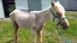 Sansa, The Miracle Horse – Saved From Starvation Her Transformation Is Amazing - Video