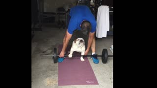 Bulldog Pumping Iron!  - Video