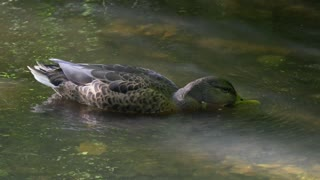 Female Pregnant Duck Drinks Fresh Water In Lake