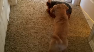 Pair of dogs adorably play together - Video