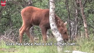 Woman Adopts Moose - Video