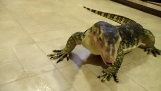 Large Asian Water Monitor Eating Chicken Legs