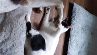 Cat and dog playing 2