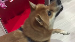 Shiba Inu dances in excitement for holiday gifts