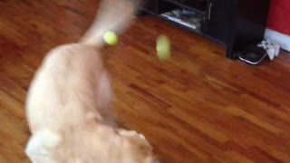 Three balls thrown at dog - Video