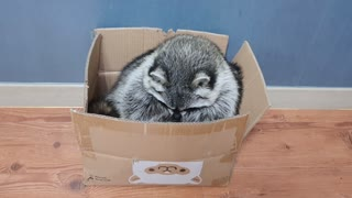 Raccoon sits in the box like a cat and remodels the box.
