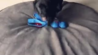 Black puppy dives into blue toy and rolls on face