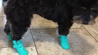 Black dog with blue boots uncomfortable