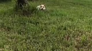 White and dog brown with black leash sprints around green grass lawn - Video