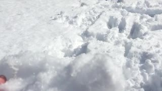 White dog hitting snowballs with its nose  - Video