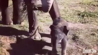 An Elephant Small walking Beside His Mother To Eat