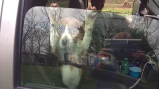 Silly Pup Refuses To Let Go Of Car Door Window - Video