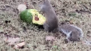 Squirrel Dines Out on Delicious Avocado