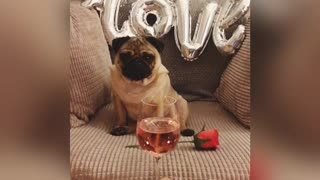 Romantic pug gets ready for date night