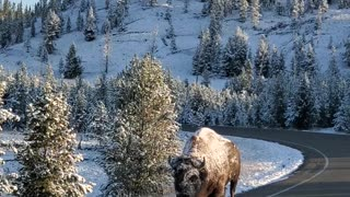 Bison Takes a Snowy Stroll in Yellowstone