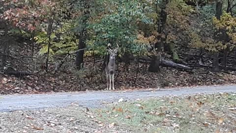 It's Mating Season! Nice Video of Eyeing Buck...