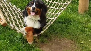 Bernese Mountain Dog chills out on hammock