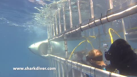 Great White Shark biting cage!