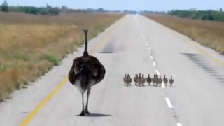 small bird Ostrich - Video