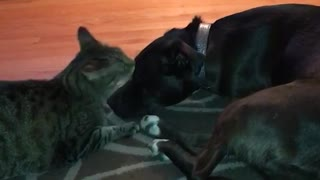 Cat licks face of dog - Video