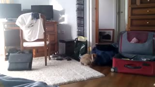 Little rabbit is playing in the luggages - Video