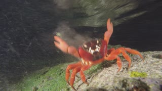 Red crab gives birth