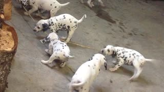 Dalmatian puppies play tug of war - Video