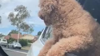 Curly hair brown dog hanging out of car biting wind