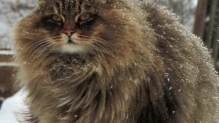 Majestic Siberian Cats Have Taken Over Russian Farm - Video