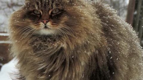 Majestic Siberian Cats Have Taken Over Russian Farm