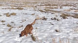 Blonde dog can't find tennis ball in snow