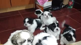 Sweet puppies Shih Tzu runs on sound - Video