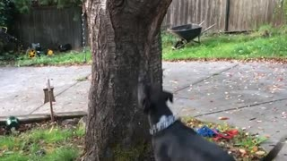 Black dog jumps and gets tree branch from tree - Video